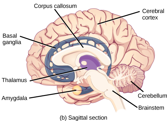 Sagittal sectional view of the human brain.  Labelling the various parts of the brain: Corpus callosum, Cerebral cortex, Cerebellum, Brainstem, Amygdala, Thalamus and Basal ganglia.