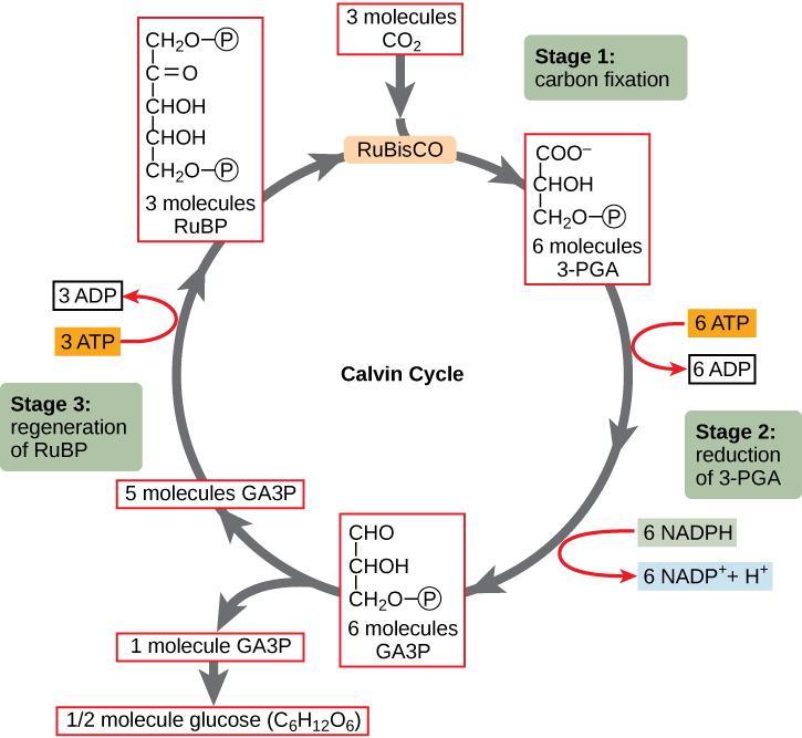 illustration showing the calvin  cycle with three stages. Stage 1: carbon fixation, stage 2: reduction of 3-PGA, stage 3: regeneratio of RuBP. Chemical reactions that convert carbon dioxide and other compounds into glucose