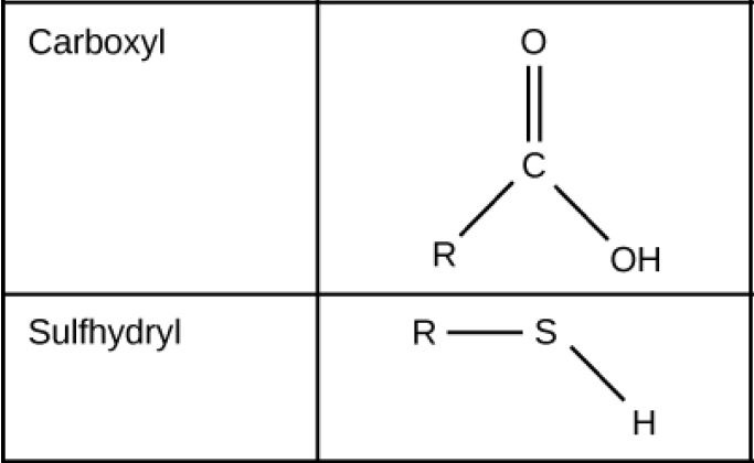 Carboxyl groups, which consist of a carbon with a double bonded oxygen and an upper O upper H group attached to a carbon chain, are able to ionize, releasing H positive ions into solution. Carboxyl groups are considered acidic. Sulfhydryl is a polar molecule.