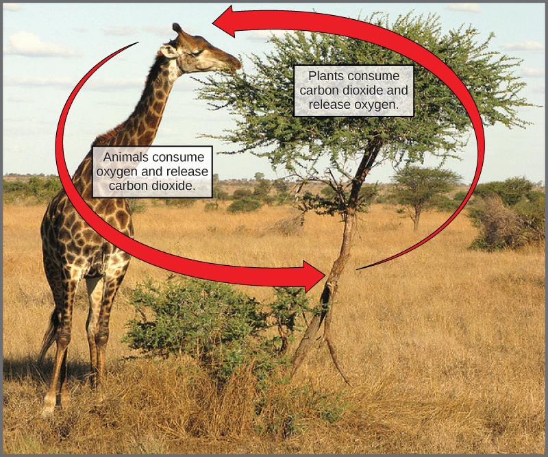 A giraffe eating leaves from a tree. Labels indicate that the giraffe consumes oxygen and releases carbon dioxide, whereas the tree consumes carbon dioxide and releases oxygen.