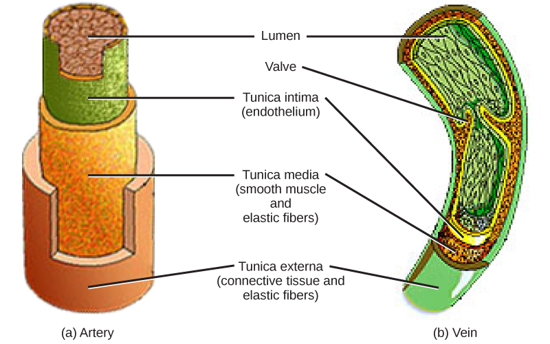 Illustration of a cross-sectional view of an Artery and Vein.  The inner section is the Lumen with a Valve only in the Vein.  Surrounding the Lumen is the Tunica intimacy (endothelium), which is surrounded by the Tunica media (smooth muscle and elastic fibers), and finally surrounded by the Tunica external (connective tissue and elastic fibers).