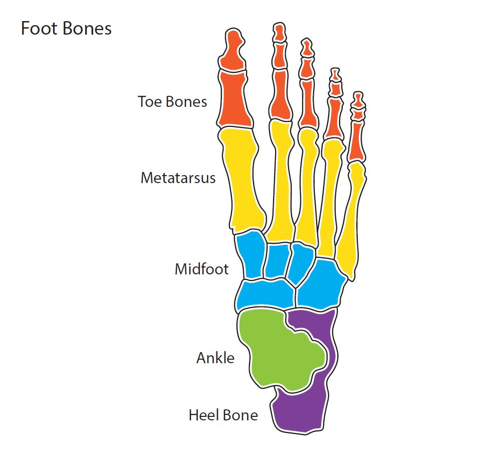 Diagram showing the five major bone segment groups of a human foot. From toe to heel: toe bones, metatarsus, midfoot, ankle, and heel bone.