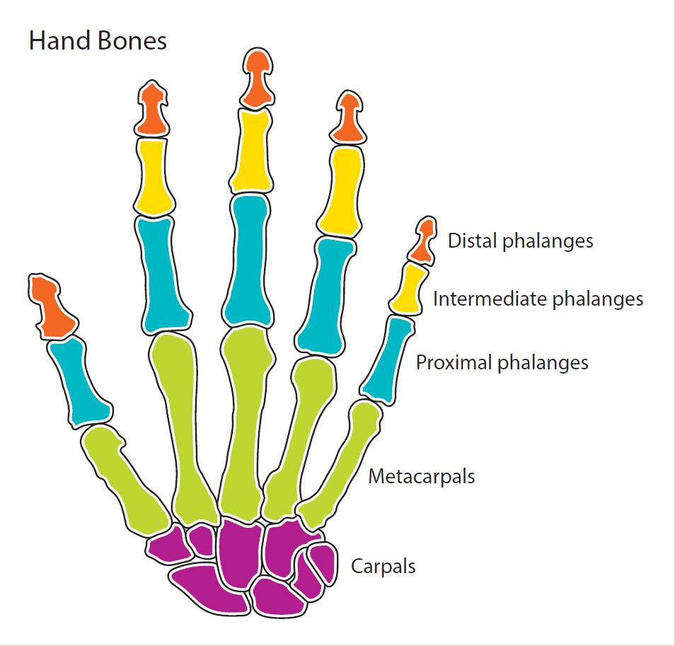 Diagram showing the five major bone segment groups of a human hand. From finger tip to wrist: distal phalanges, intermediate phalanges, proximal phalanges, metacarpals, and carpals.