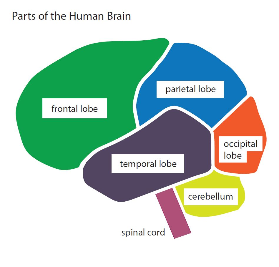 Diagram showing size major sections of the human brain. A large segment of the front is the frontal lobe, next to on top is the parietal lobe. The back of the head has the occipital lobe on top of the cerebellum. At the center is the temporal lobe, attached to the spinal cord at the bottom.
